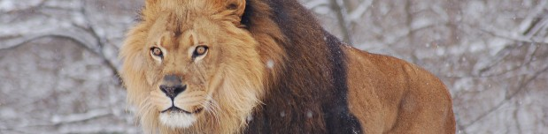 African_Lion_Panthera_leo_Mal8e_Pittsburgh_2800px